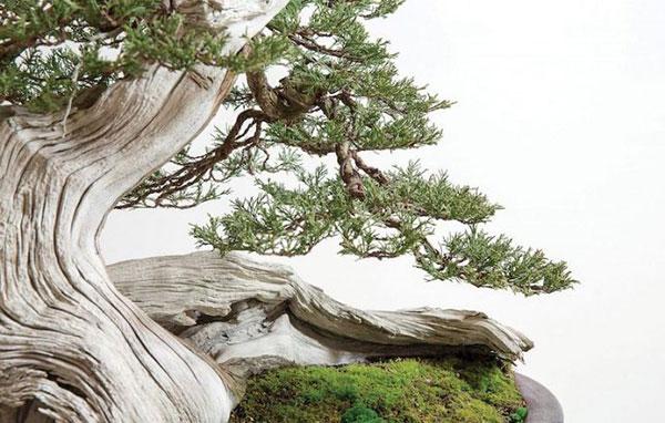 bonsai nhật bản lâu năm