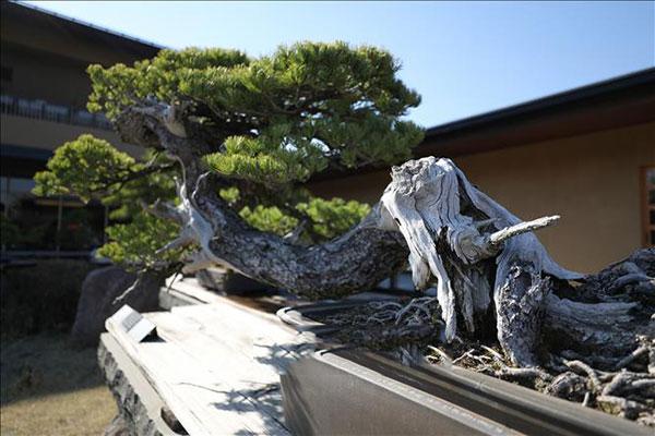 yếu tố đánh giá bonsai đẹp